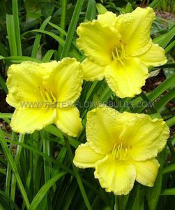 HEMEROCALLIS (DAYLILY) 'BIG TIME HAPPY' I (25 P.OPEN TOP BOX)