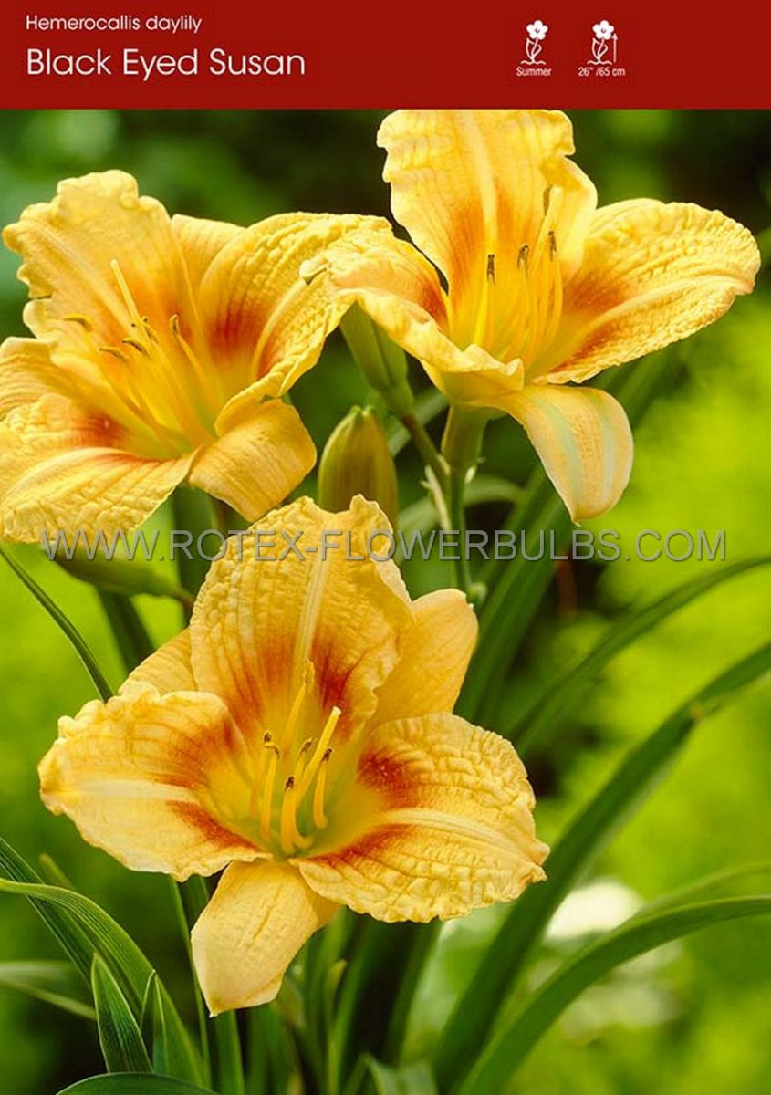 hemerocallis daylily black eyed susan i 25 popen top box