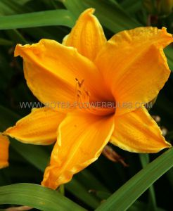 HEMEROCALLIS (DAYLILY) 'BURNING DAYLIGHT' I (25 P.BAG)