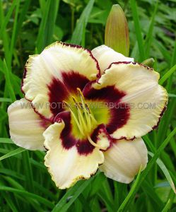 HEMEROCALLIS (DAYLILY) 'CANADIAN BORDER PATROL' I (25 P.BAG)