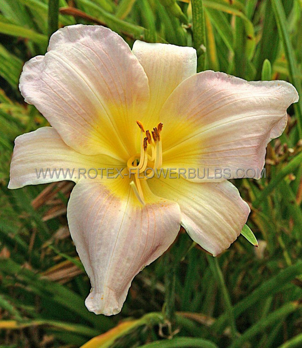 hemerocallis daylily catherine woodbury i 25 pbag