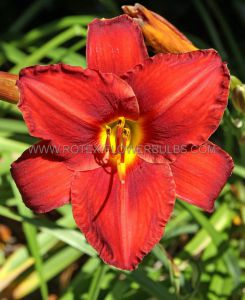 HEMEROCALLIS (DAYLILY) 'CHARLES JOHNSTON' I (25 P.BAG)