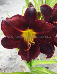 HEMEROCALLIS (DAYLILY) 'DOMINIC' I (25 P.BAG)