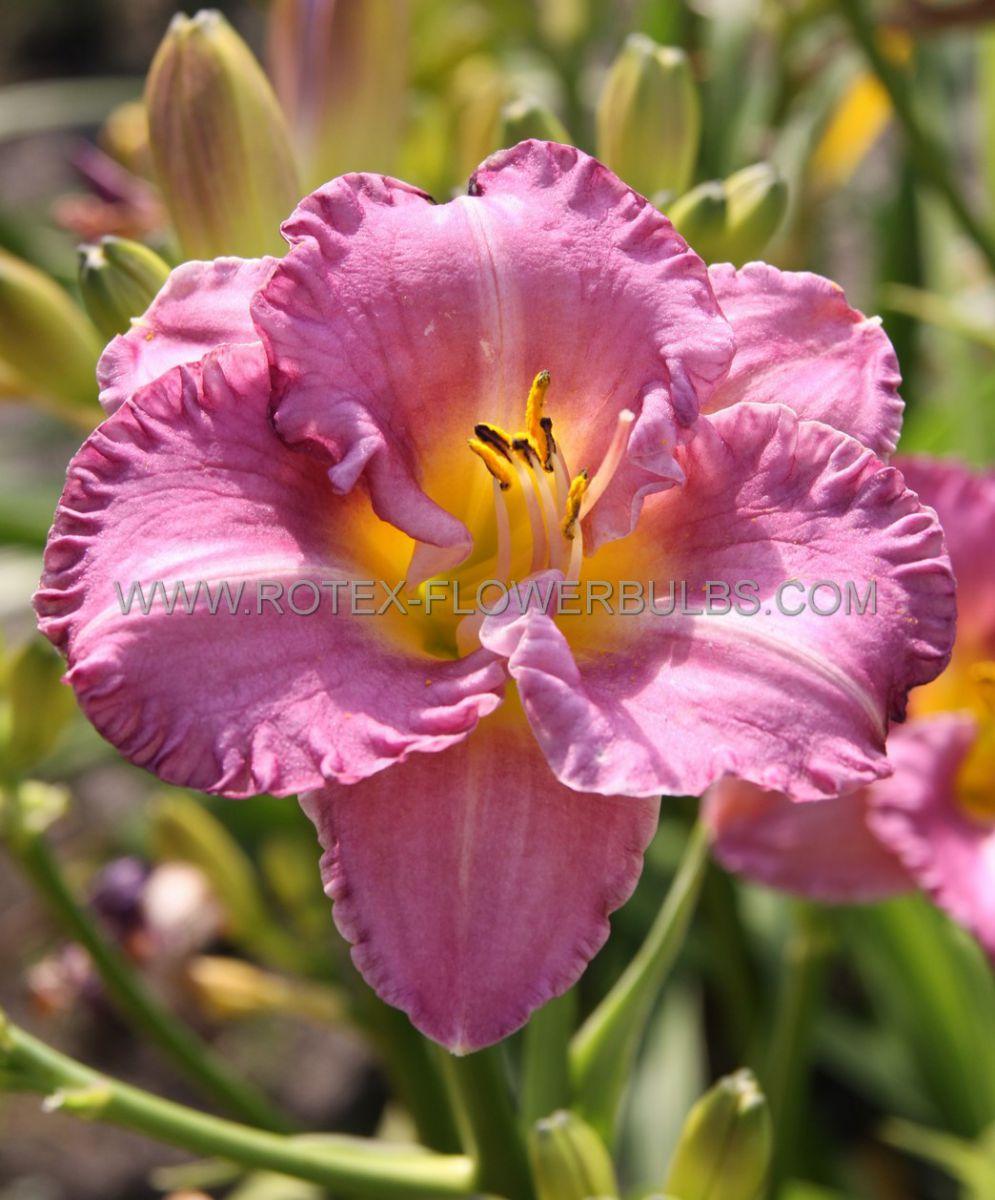 hemerocallis daylily entrapment i 25 pbag