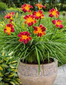 HEMEROCALLIS (DAYLILY) EVERYDAYLILY 'RED RIBS' I (25 P.BAG)