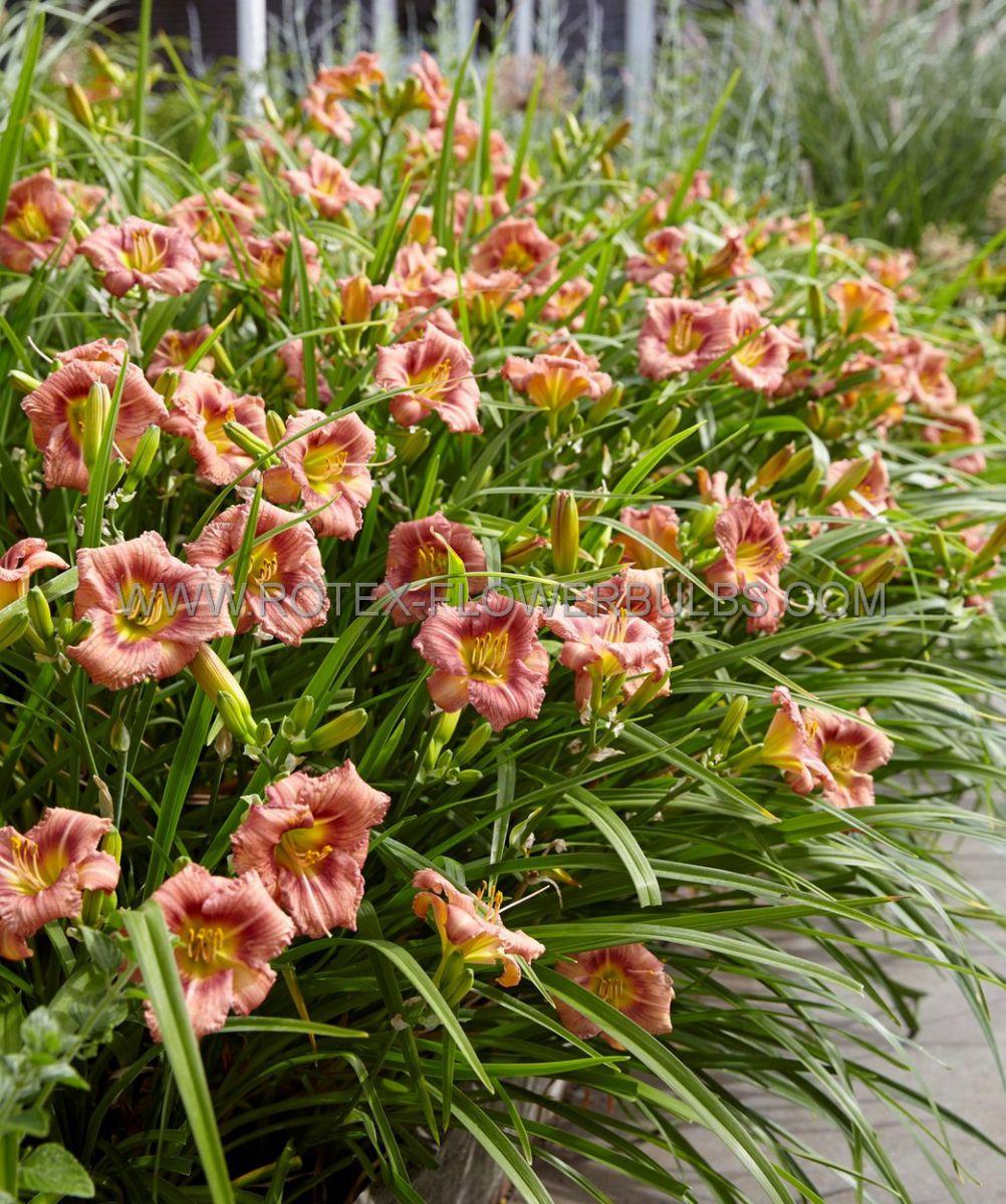 hemerocallis daylily everydaylily rose i 25 pbag