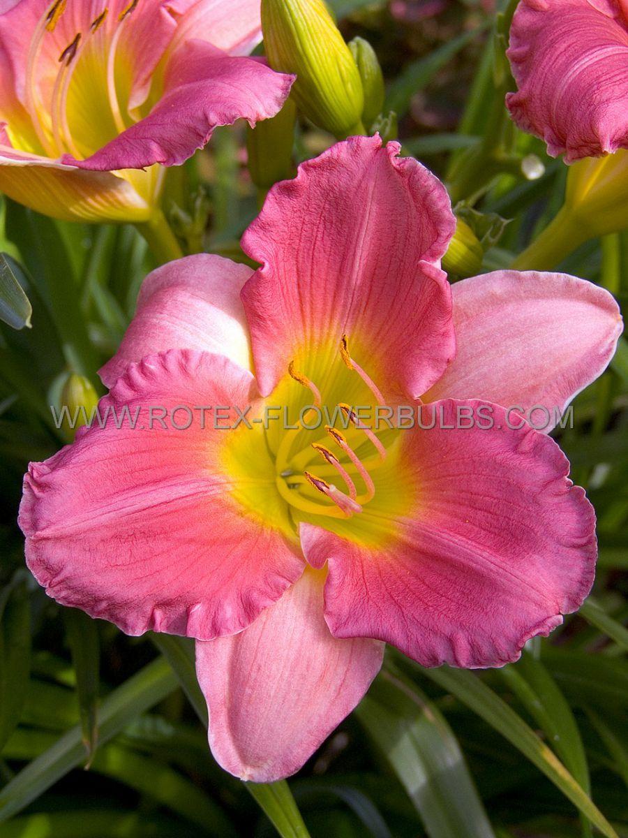 hemerocallis daylily final touch i 25 pbag