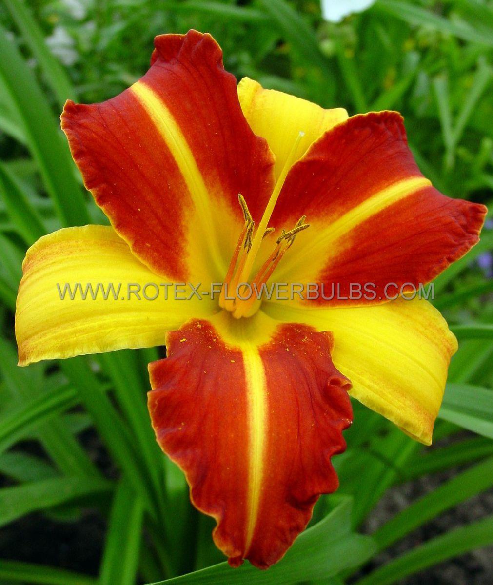 hemerocallis daylily frans hals i 25 popen top box