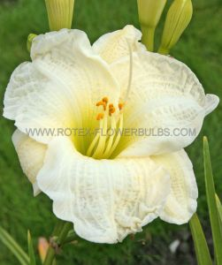 HEMEROCALLIS (DAYLILY) 'GENTLE SHEPHERD' I (25 P.BAG)