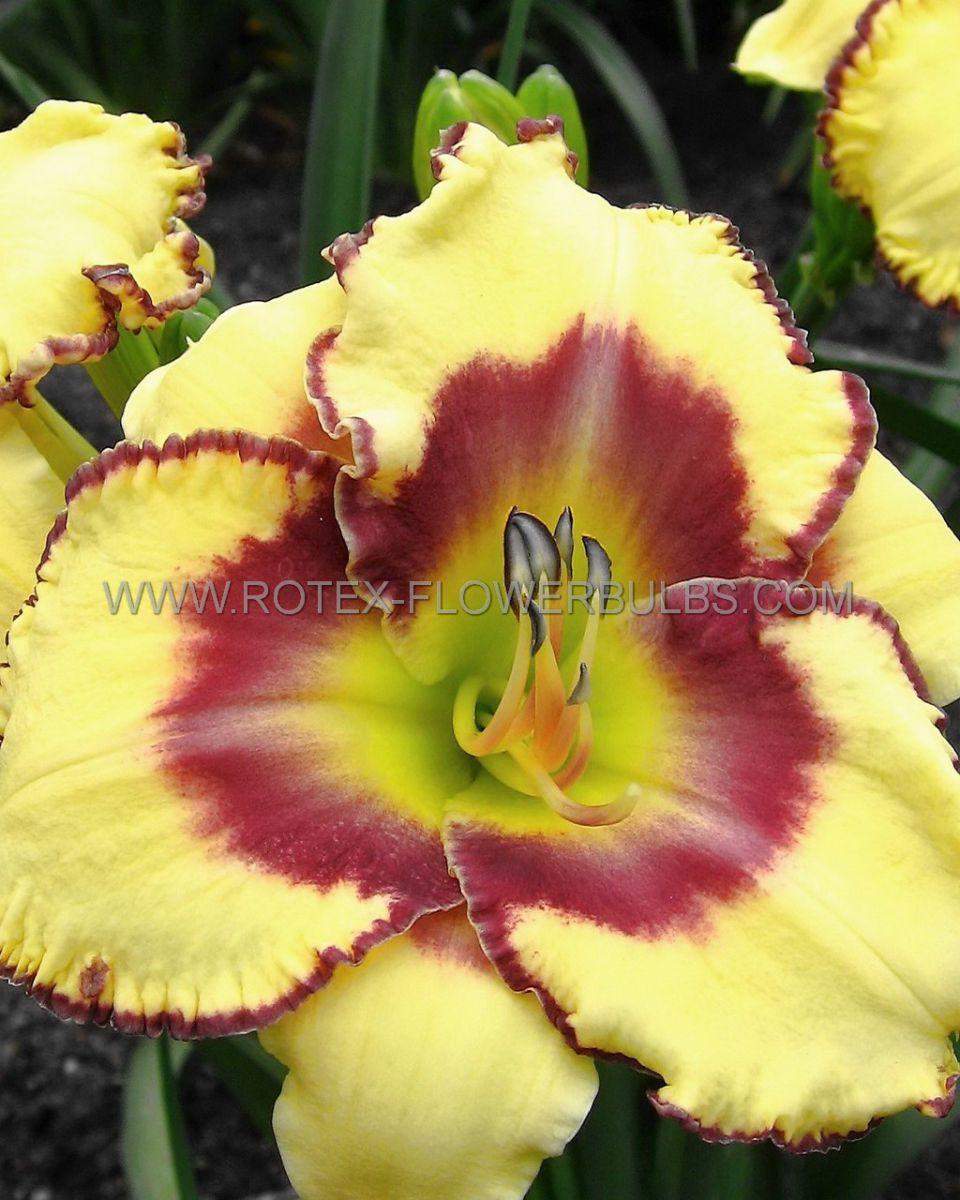 hemerocallis daylily jamaican me crazy i 25 pbag