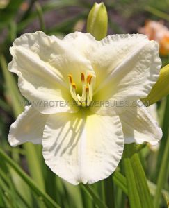 HEMEROCALLIS (DAYLILY) 'JOAN SENIOR' I (25 P.BAG)