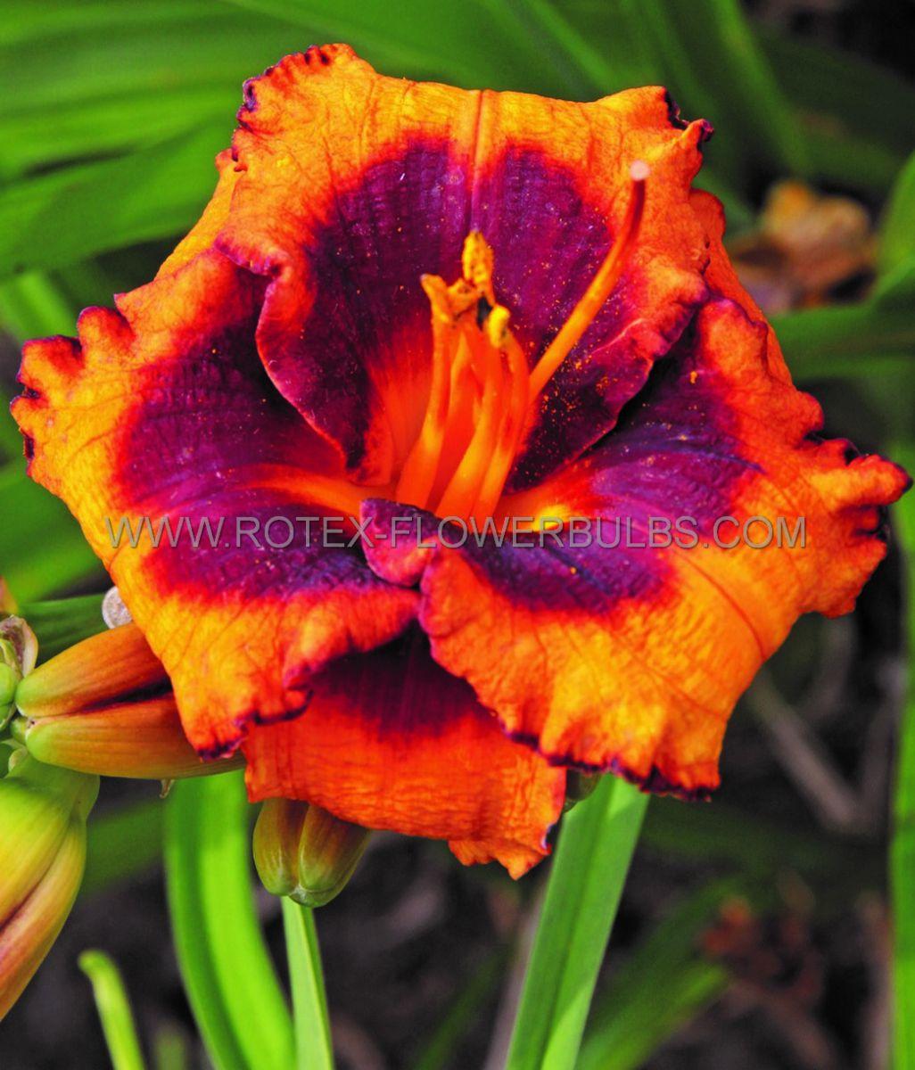 hemerocallis daylily madeline nettles eyes i 25 pbag