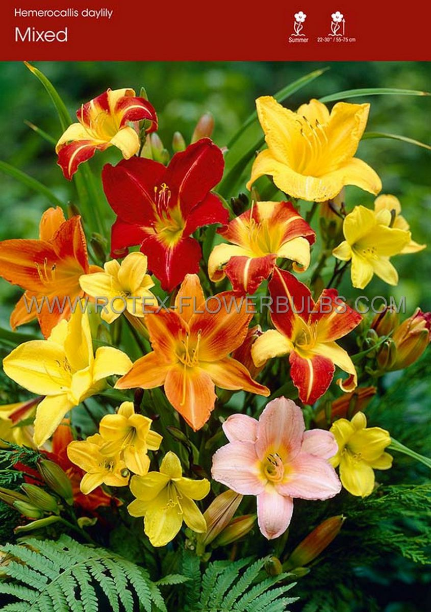 hemerocallis daylily mix i 25 popen top box