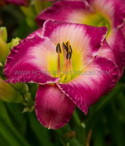 HEMEROCALLIS (DAYLILY) 'MOROCCAN SUNRISE' I (25 P.BAG)