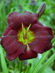HEMEROCALLIS (DAYLILY) 'OLIVE BAILEY LANGDON' I (25 P.BAG)