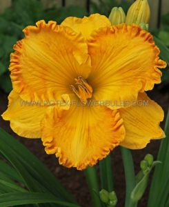 HEMEROCALLIS (DAYLILY) 'ORANGE NASSAU' I (25 P.BAG)