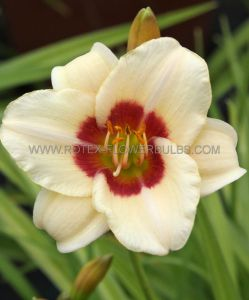 HEMEROCALLIS (DAYLILY) 'PANDORA'S BOX' I (25 P.BAG)