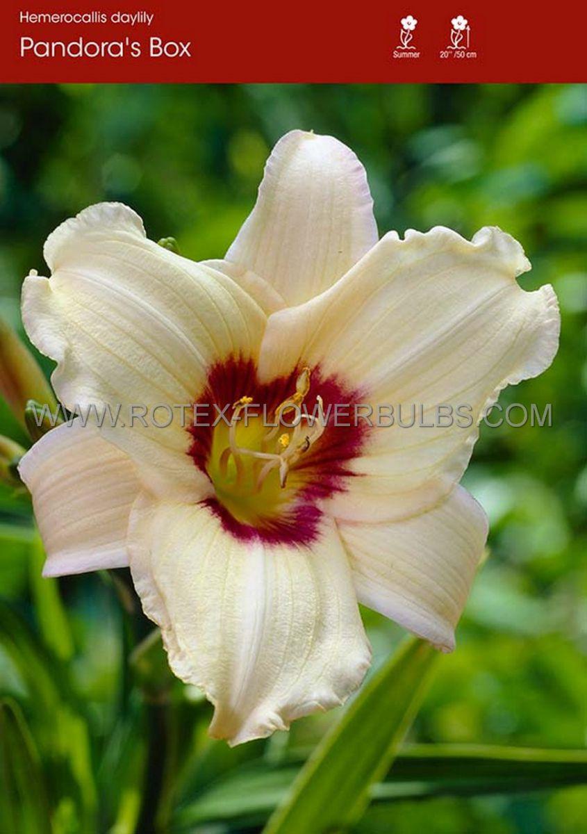 hemerocallis daylily pandoras box i 25 pbag