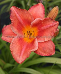 HEMEROCALLIS (DAYLILY) 'SOUTH SEAS' I (25 P.BAG)