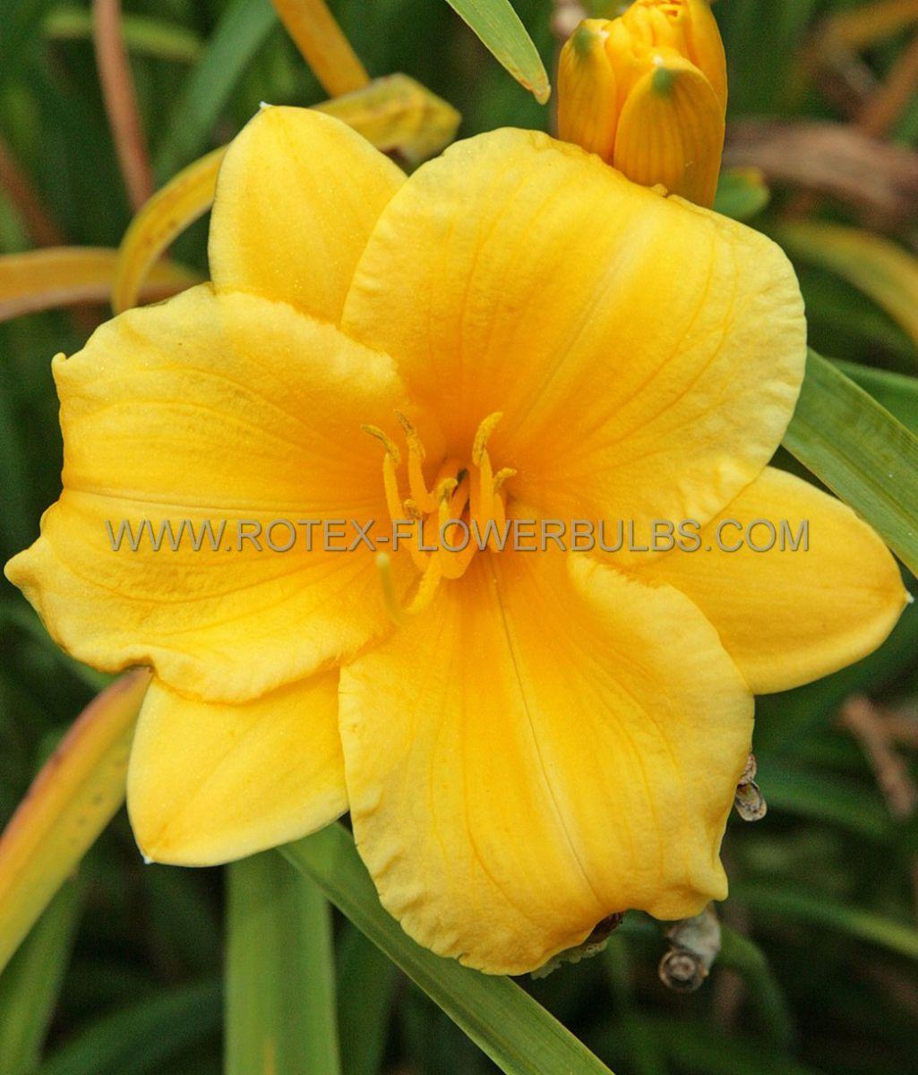 hemerocallis daylily stella doro i 25 pbag