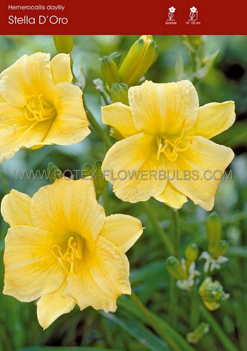hemerocallis daylily stella doro i 25 popen top box