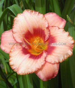 HEMEROCALLIS (DAYLILY) 'STRAWBERRY CANDY' I (25 P.BAG)