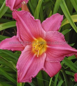 HEMEROCALLIS (DAYLILY) 'SUMMER WINE' I (25 P.BAG)