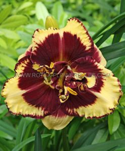 HEMEROCALLIS (DAYLILY) 'TIGER BLOOD' I (25 P.BAG)