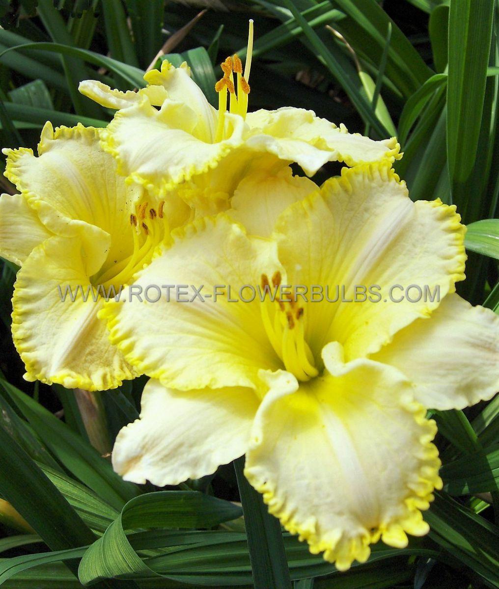 hemerocallis daylily villa vanilla i 25 pbag