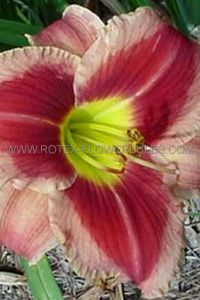 HEMEROCALLIS (DAYLILY) 'WATERMELON SLICE' I (25 P.BAG)