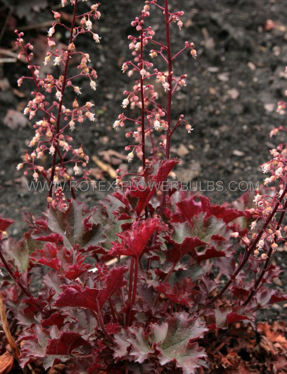 heuchera coral bells hybrida crimson curls i 25 pbag