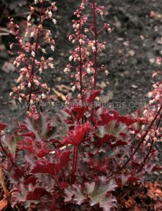 HEUCHERA (CORAL BELLS) HYBRIDA 'CRIMSON CURLS' I (25 P.BAG)