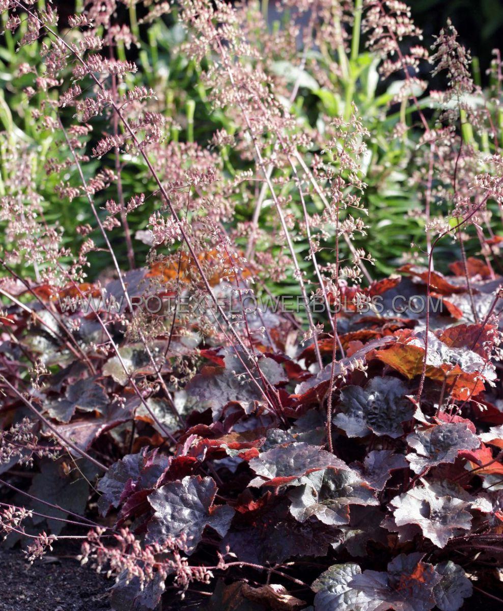 heuchera coral bells micrantha palace purple i 25 pbag