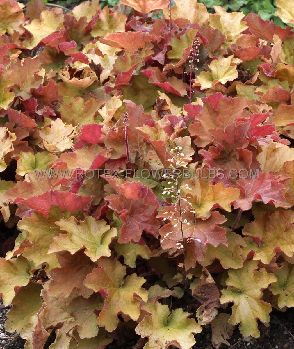 heuchera coral bells villosa caramel i 25 pbag