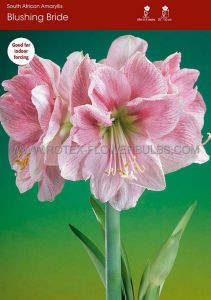 HIPPEASTRUM (AMARYLLIS) 'BLUSHING BRIDE' 28/30 CM. (5 P.OPEN TOP BOX)