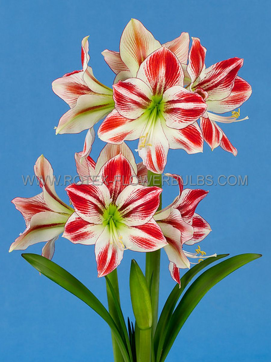 hippeastrum amaryllis diamond fairy tale 3032 cm 6 popen top box