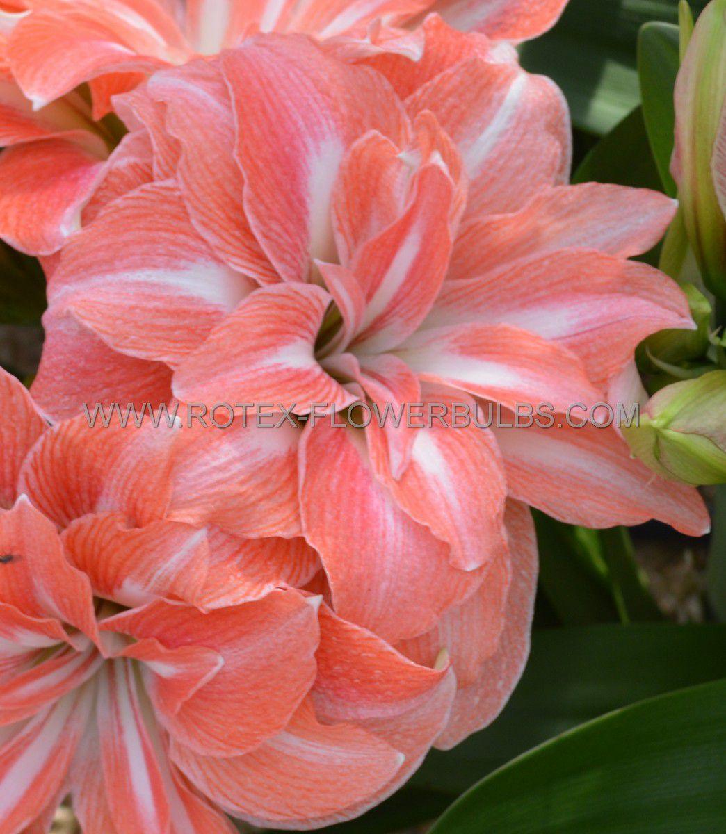 hippeastrum amaryllis double flowering lady jane 3436 cm 12 pwooden crate