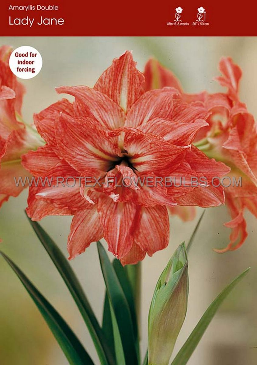 hippeastrum amaryllis double flowering lady jane 3436 cm 12 pwooden crate