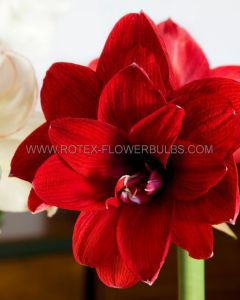 HIPPEASTRUM (AMARYLLIS) DOUBLE FLOWERING 'RED PEACOCK' 34/36 CM. (12 P.WOODEN CRATE)