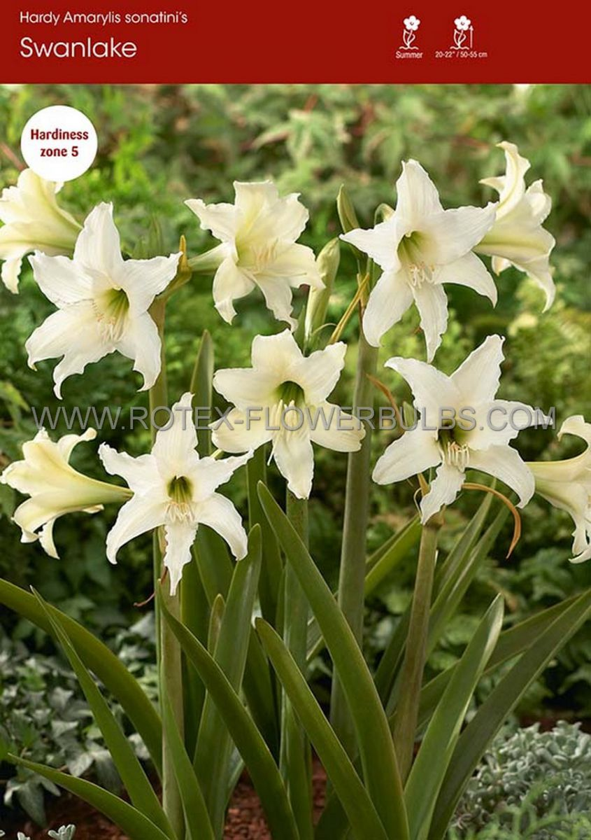 hippeastrum amaryllis hardy sonatini swanlake 1416 cm 25 popen top box