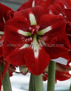 HIPPEASTRUM (AMARYLLIS) LARGE FLOWERING 'BARBADOS' 34/36 CM. (6 P.OPEN TOP BOX)