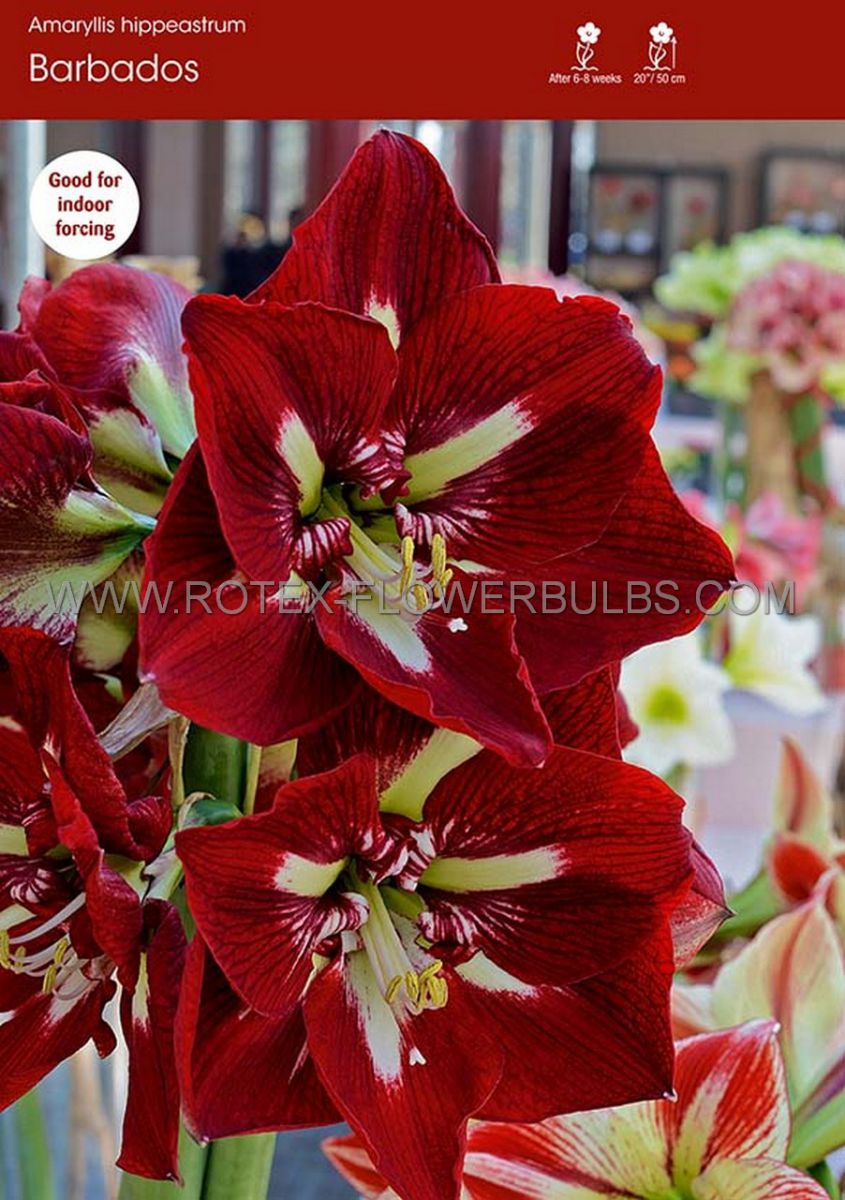 hippeastrum amaryllis large flowering barbados 3436 cm 6 popen top box