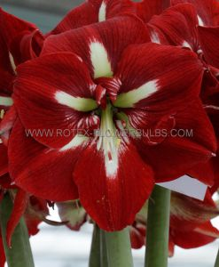HIPPEASTRUM (AMARYLLIS) LARGE FLOWERING 'BARBADOS' 34/36 CM. (12 P.WOODEN CRATE)