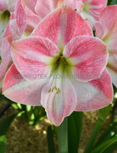 HIPPEASTRUM (AMARYLLIS) LARGE FLOWERING 'CHERRY BLOSSOM' 34/36 CM. (6 P.OPEN TOP BOX)