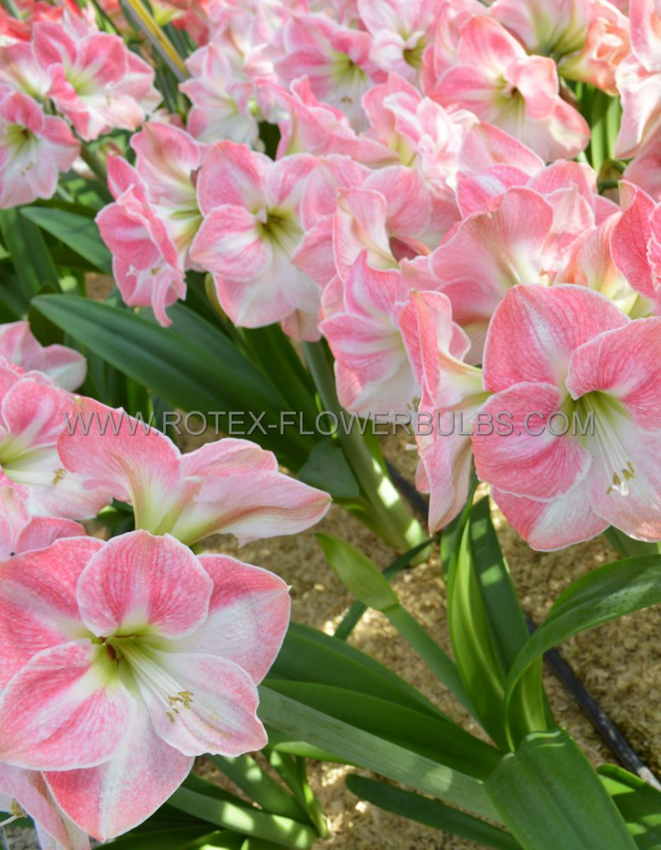 hippeastrum amaryllis large flowering cherry blossom 3436 cm 6 popen top box