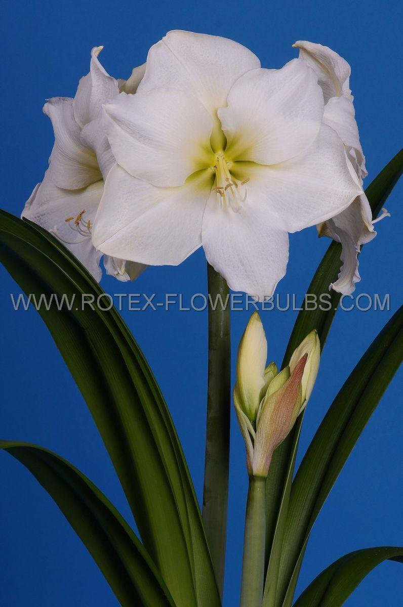hippeastrum amaryllis large flowering christmas gift 3436 cm 30 pcarton