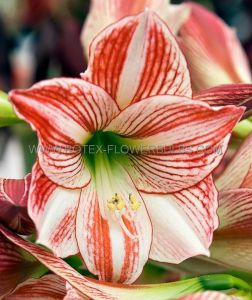 HIPPEASTRUM (AMARYLLIS) LARGE FLOWERING 'CLOWN' 28/30 CM. (8 P.OPEN TOP BOX)
