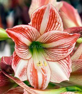 HIPPEASTRUM (AMARYLLIS) LARGE FLOWERING 'CLOWN' 34/36 CM. (30 P.CARTON)