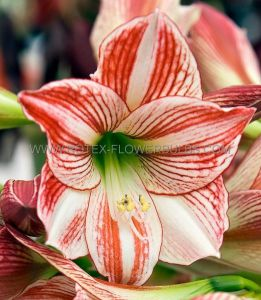 HIPPEASTRUM (AMARYLLIS) LARGE FLOWERING 'CLOWN' 34/36 CM. (6 P.OPEN TOP BOX)