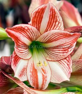 HIPPEASTRUM (AMARYLLIS) LARGE FLOWERING 'CLOWN' JUMBO 40/42 CM. (4 P.OPEN TOP BOX)